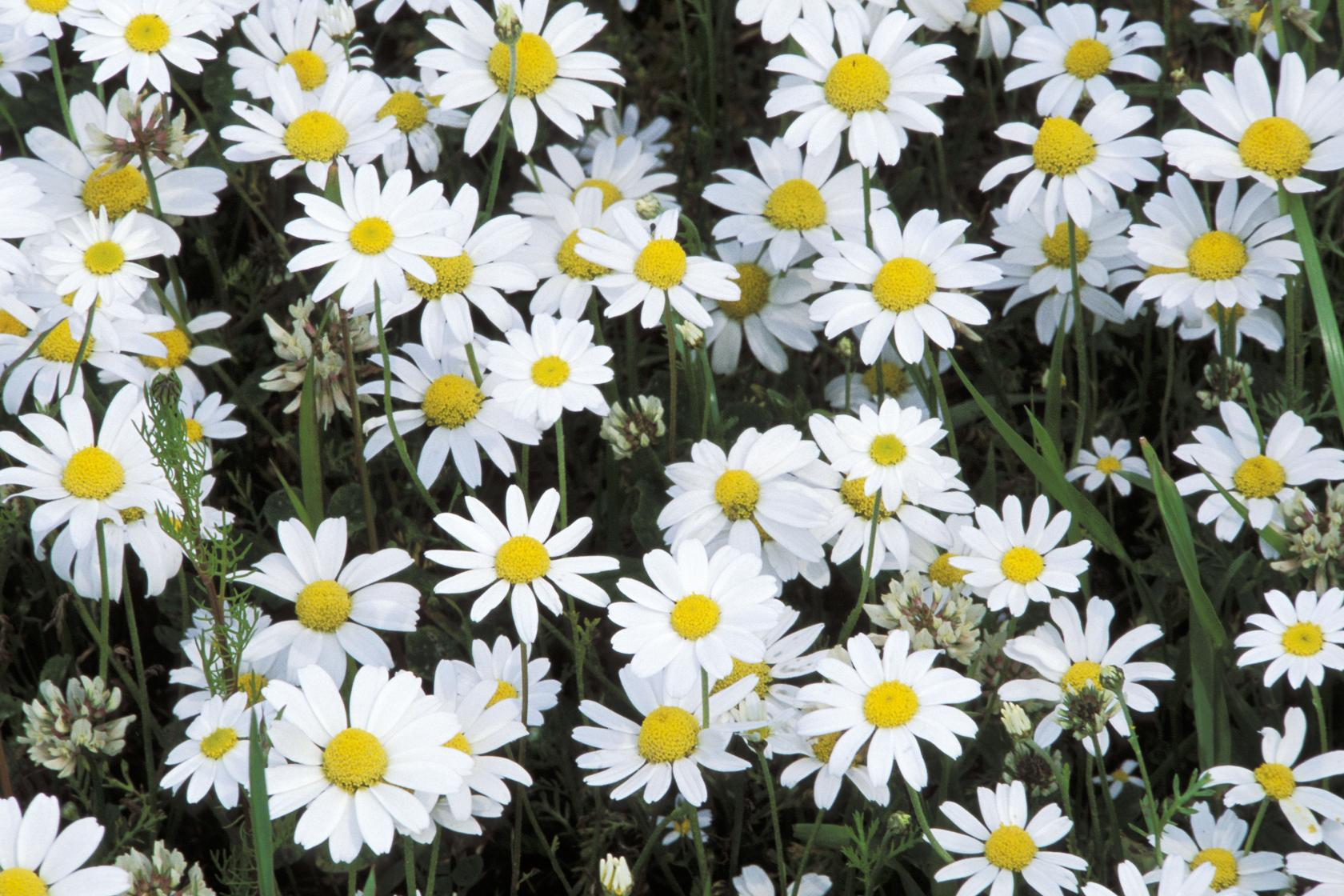 Grow wild flowers to the people mindfulness yoga corn chamomile grow wild mightylinksfo